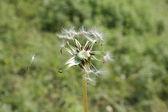 Falling dandelion — Stock Photo