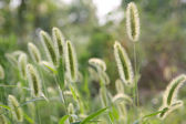 Bristle grass — Stock Photo