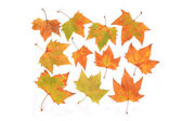 Deciduous leaf — Stock Photo