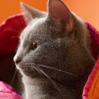 Gray Cat with Indian-Inspired Colors — Stock Photo