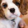 Alert Cocker Spaniel Puppy — Stock Photo