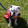Superman at Pet Parade — Stock Photo