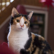 Regal Calico — Stock Photo
