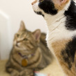 Stock Photo: Tabby and Calico Looking Away