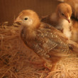 Baby Chickens — Stock Photo