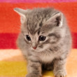 Kitten on Red Rug — Stock Photo