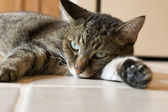 Cat Resting on Ceramic Tile Floor — Stock Photo