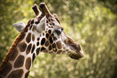 Suspicious Giraffe — Stock Photo