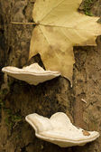 Shelf Fungus Growing on a Tree Trunk — Stock Photo