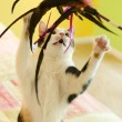 A Calico Cat Playing with a Feather Toy — Stock Photo