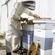 Beekeeper Working on Hives - Stock Photo