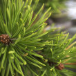 Stock Photo: Fresh Pine Scent