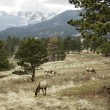 Elk Grazing in Rocky Mountains — Stock Photo #2293315