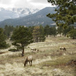Stock Photo: Elk Grazing in the Rocky Mountains