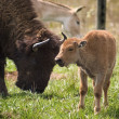 American Bison showing affection to Calf - Stock Photo