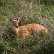 Fawn in Grass — Stock Photo #2293441