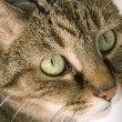 Green Eyed Cat - Stock Photo
