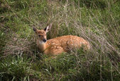 Fawn in Grass — Stock Photo