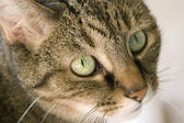 Green Eyed Cat — Stock Photo