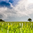 Stock Photo: Vineyard 3