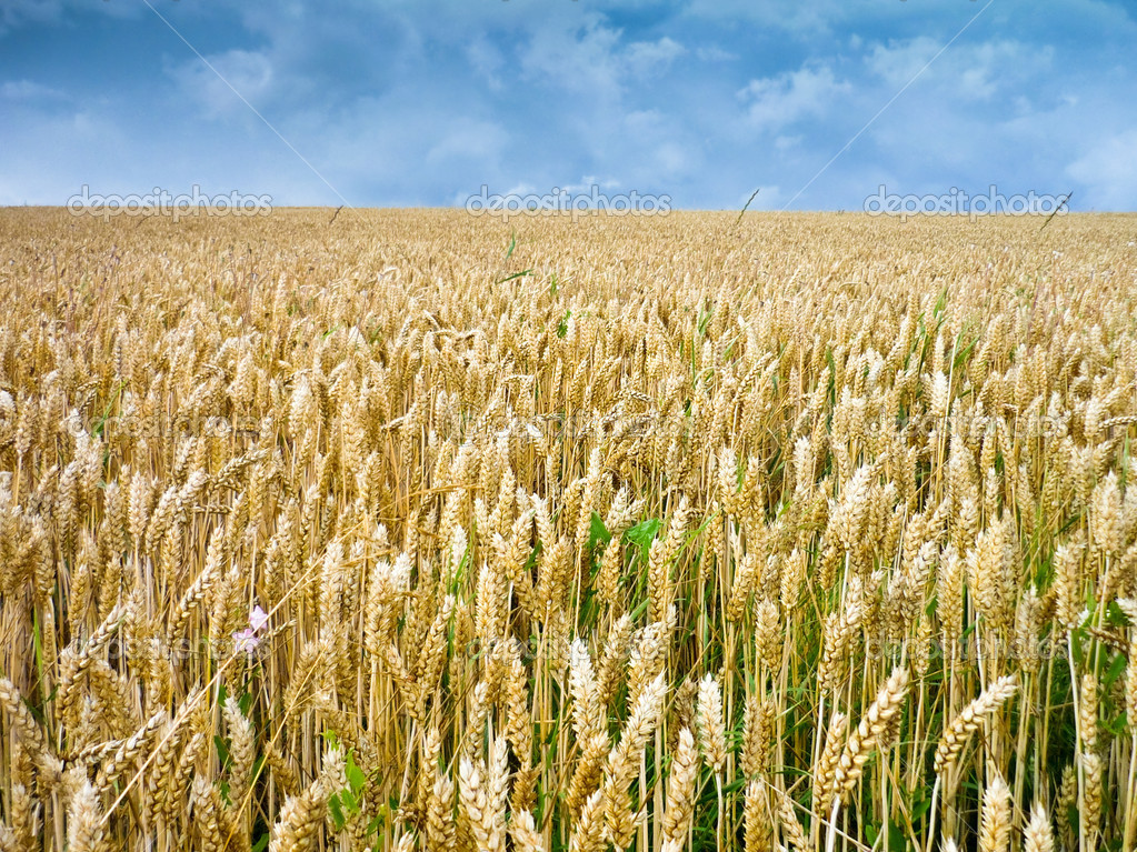 Wheat ears against the blue sky — Stock Photo #2244871