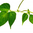 Green leaves isolated — Stock Photo