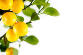 Lemon-tree background — Stock Photo