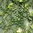Royalty-Free Stock Photo: Ivy on green wall