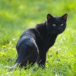 A black cat looking back on green field — Stock Photo