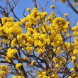 Blooming yellow tree with blue sky — Stock Photo #2236232