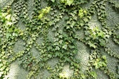 Ivy on green wall — Stock Photo