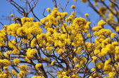 Blooming yellow tree with blue sky — Stock Photo