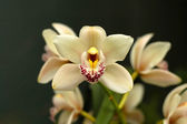 Cymbidium orchid flowers — Stock Photo