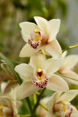 Cymbidium orchid flowers — Stock Photo