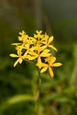 Little yellow orchids — Stock Photo
