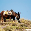 Donkey on Santorini island, Greece — Stock Photo