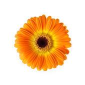 Isolated orange gerber flower — Stock Photo