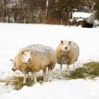 Sheeps in the snow - Stock Photo