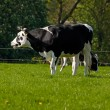 Black and white Dutch cow - Stock Photo