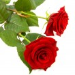 Two red roses - Stock Photo
