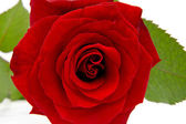 Red rose in closeup — Stock Photo