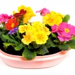 Colorful Primula flowers in pink pot — Stock Photo