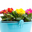 Colorful primula flowers in bucket — Stock Photo