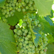 White wine grapes — Stock Photo #2399703
