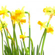 Stock Photo: Yellow Daffodil flowers