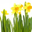 Yellow Daffodil flower — Stock Photo