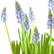 Muscari botryoides flowers — Stock Photo