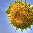 Sunflower — Stock Photo #2548836