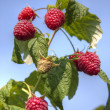 Stock Photo: Raspberry