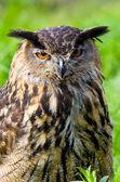 Portrait of an owl head — Stock Photo